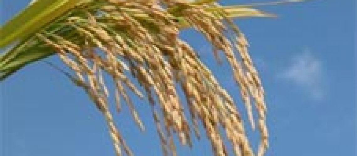 E o arroz que nos deram?