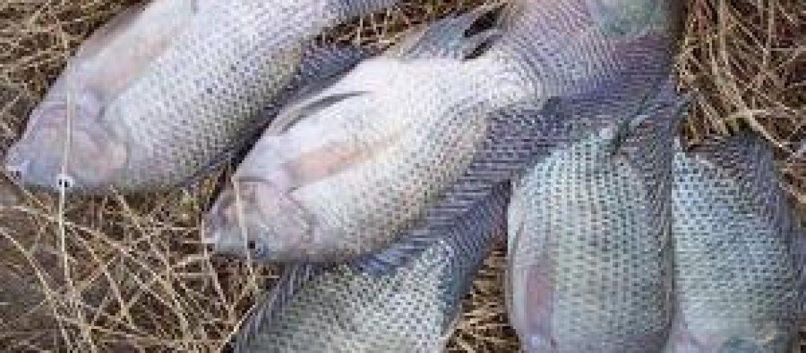 Tilápia socorre famílias em Boane