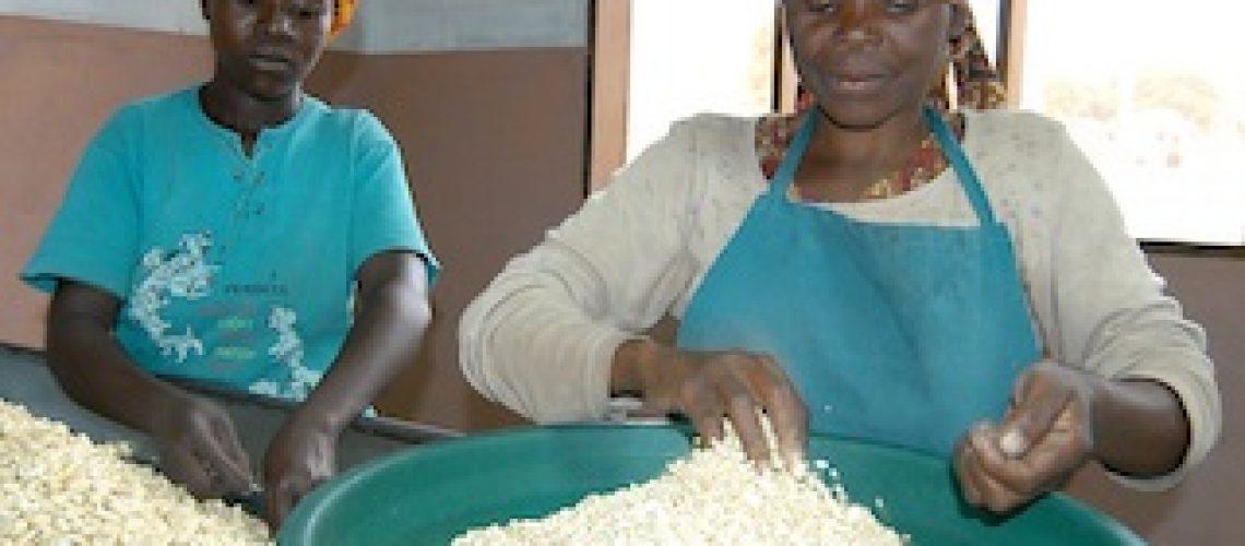 Caju: Plantações organizadas revitalizam indústria e rendimentos comunitários