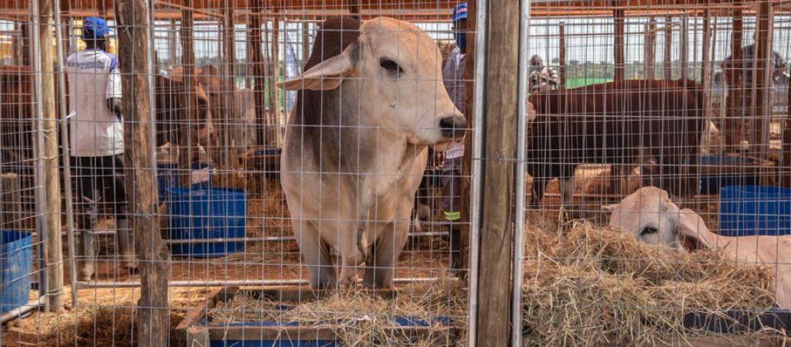 mader-gado-touro1
