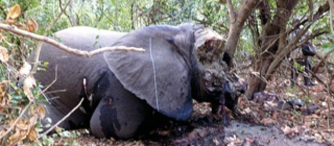 Elefantes continuam na mira de caçadores furtivos